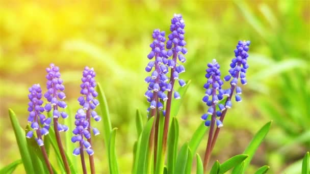 Muscari is a genus of perennial bulbous plants native to Eurasia that produce spikes of dense, most commonly blue, urn-shaped flowers resembling bunches of grapes in the spring. Grape hyacinth.