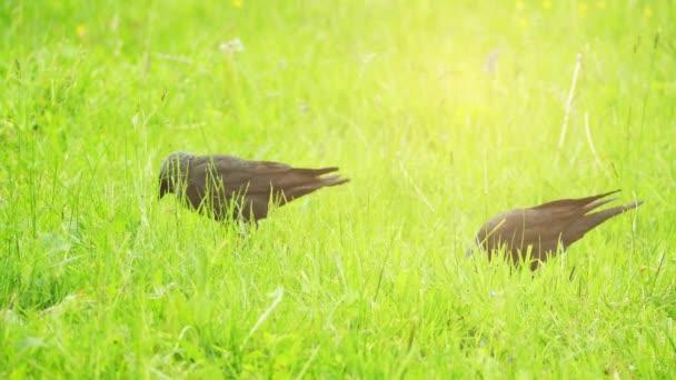 Nyugati vadállat ugrál a zöld fűben. Western jackdaw (Corvus monedula), más néven az eurázsiai jackdaw, európai jackdaw, vagy egyszerűen jackdaw, egy járókelő madár a varjú család.