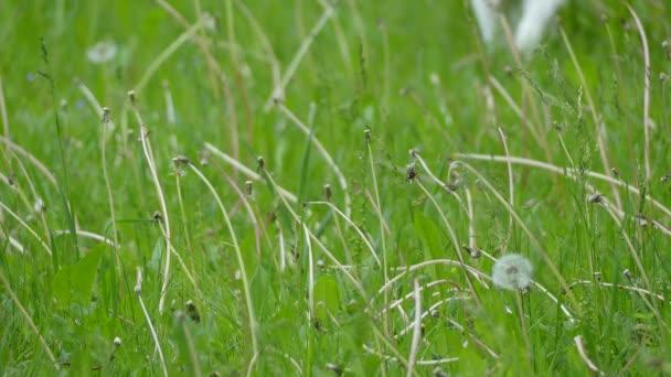 Rudá kočka chodí na louku s vysokou trávou. Domácí kočka nebo divoká kočka (Felis silvestris catus) je malý, typicky chlupatý savec.
