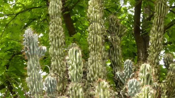 Cereus repandus (Cereus peruvianus, giant club cactus, hedge cactus, cadushi, kayush), Peruvian apple cactus, is a large, erect, thorny columnar cactus found in South America as well Dutch Caribbean.