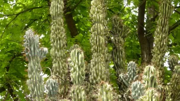 Cereus repandus (cereus peruvianus, óriás klub kaktusz, sövénykaktusz, cadushi, kayush), perui almás kaktusz, egy nagy, merev, tüskés oszlopos kaktusz található Dél-Amerikában, valamint a holland Karib-térségben.