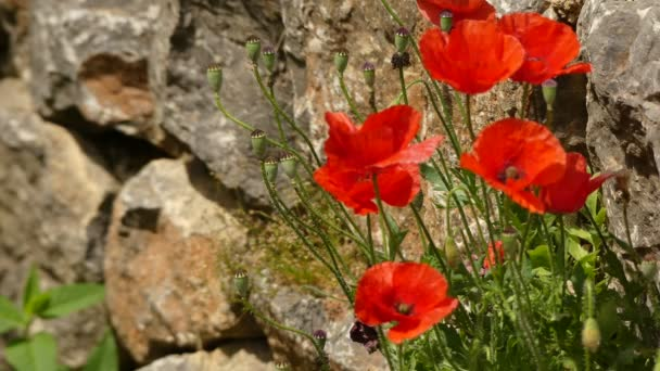 Papaver rhoeas (common names include common poppy, corn poppy, corn rose, field poppy, Flanders poppy, red poppy, red weed, coquelicot) is flowering plant in poppy family, Papaveraceae.