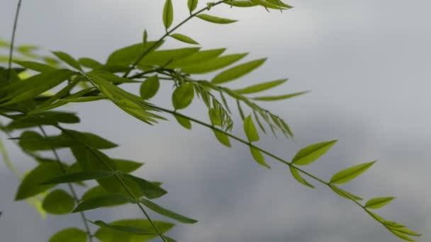 Transfer focus: Styphnolobium japonicum Schott, the Japanese pagoda tree (Chinese scholar tree, pagoda tree