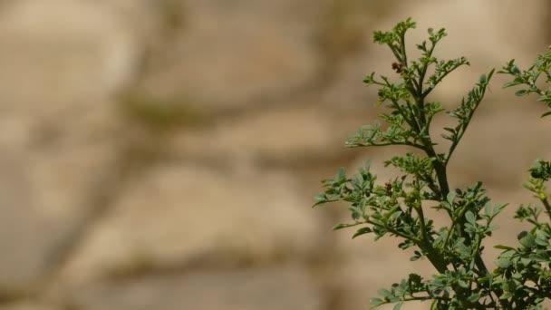 Ruta graveolens, známá jako Rue, Common Rue nebo Herb-Grace, je druh Ruta vypěstované jako okrasná rostlina a jako bylina. Je to přirozené na Balkánském poloostrově.