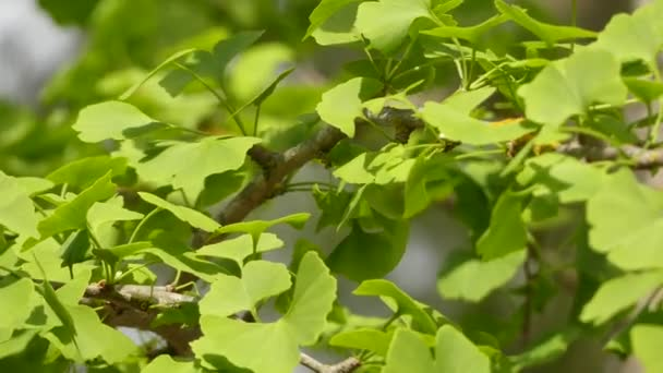 Ginkgo biloba, known as ginkgo, also spelled gingko, or as the maidenhair tree, is the only living species in the division Ginkgophyta, all others being extinct.
