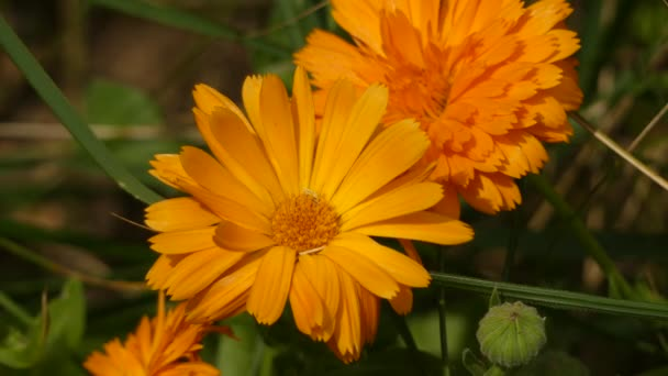 Calendula officinalis (pot marigold, ruddles, common marigold, garden marigold, English marigold, or Scottish marigold) is a plant in the genus Calendula of the family Asteraceae.