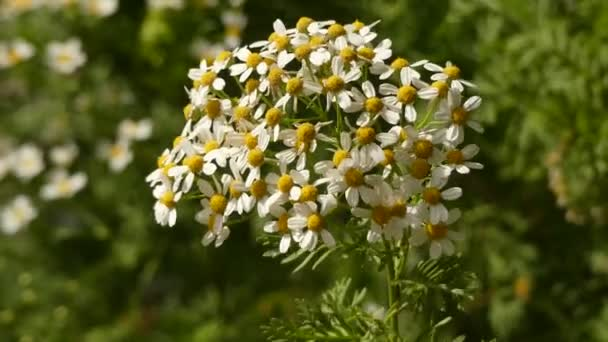 Tanacetum Ferulaceum of flowering plants in the aster family, Asteraceae.