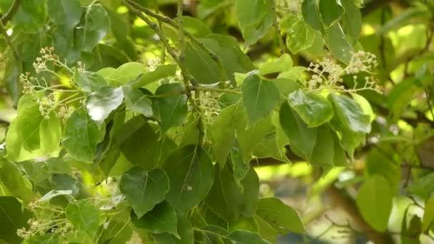Cinnamomum camphora (commonly known as camphor tree, camphorwood or camphor laurel)
