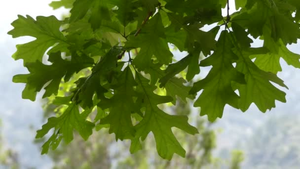 Quercus macrocarpa, the bur oak, sometimes spelled burr oak, is a species of oak in the white oak section Quercus sect. This plant is also called mossycup oak and mossycup white oak.
