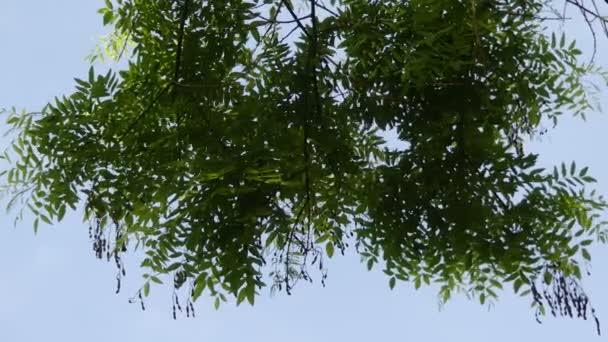 Styphnolobium japonicum Schott, a japán Pagoda fa (kínai tudós fa, Pagoda fa