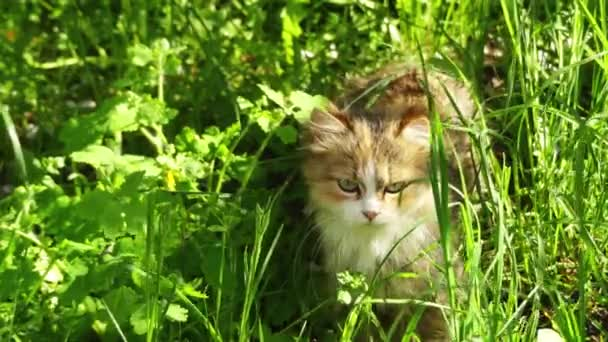 Red cat goes on a meadow with tall grass. Domestic cat or the feral cat (Felis silvestris catus) is a small, typically furry, carnivorous mammal.
