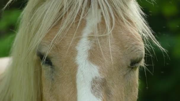 Palomino horse oblek na pastvine. Palomino je barva srsti v koně, tvořený zlatá srst a světlou hřívou a ohonem.