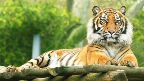 Tygr bengálský neboli Královský tygr bengálský (Panthera tigris), je většina četné poddruh tygra. Je to národní zvíře Indie a Bangladéš.