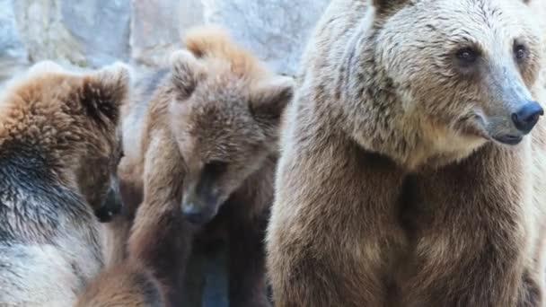 4 k medvěd hnědý (Ursus arctos) je velký medvěd s nejširší distribuci všech živých ursid. Druh je distribuován přes velkou část Severní Eurasie a Severní Ameriky