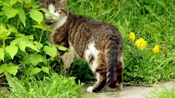 Grey cat goes on a meadow with tall grass. Domestic cat or the feral cat (Felis silvestris catus) is a small, typically furry, carnivorous mammal.