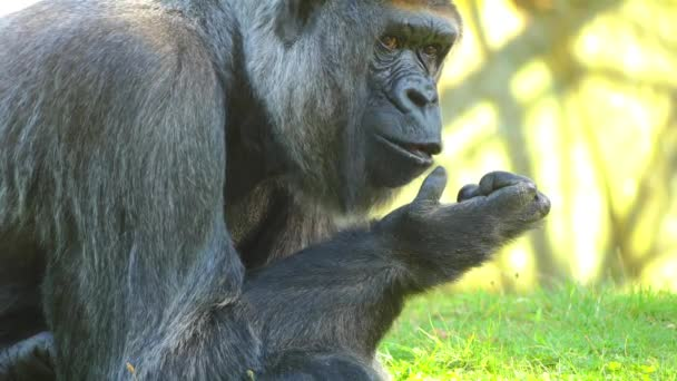 The western lowland gorilla is one of two subspecies of the western gorilla, that lives in montane, primary and secondary forests and lowland swamps in central Africa.