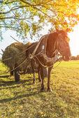 Schwarzes Pferd vorgespannt um Karren mit Heu