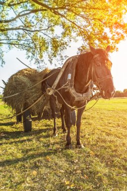 Black horse harnessed to cart with hay