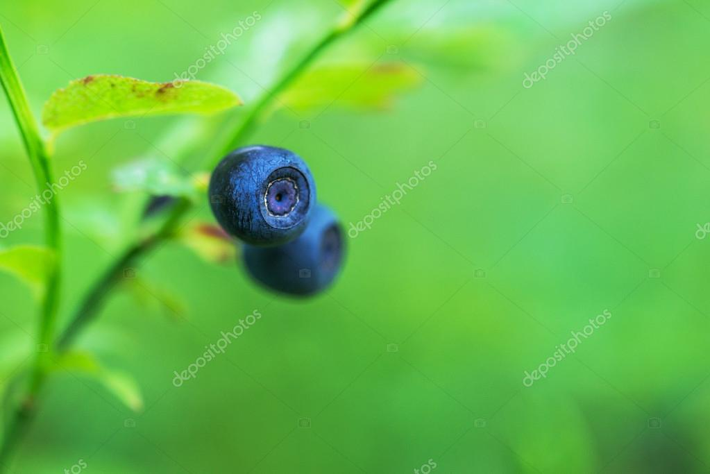 Blueberries are perennial flowering plants