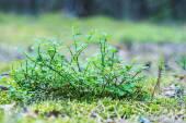 Áfonya is évelő virágos növények
