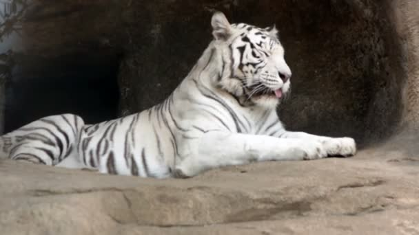 Siberian whites tiger