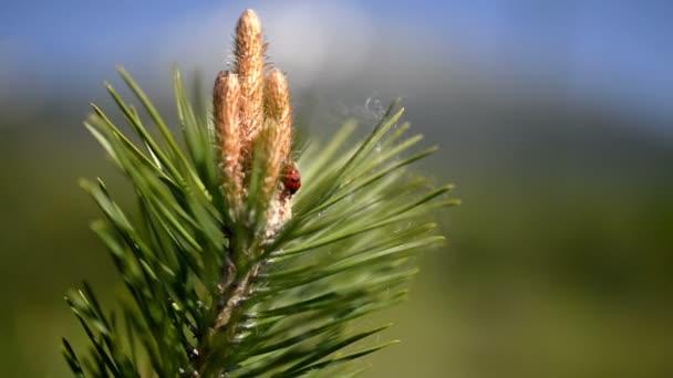 Beruška na borovice ve Vysokých Tatrách