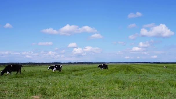 krávy na pastvě na zelené pastviny