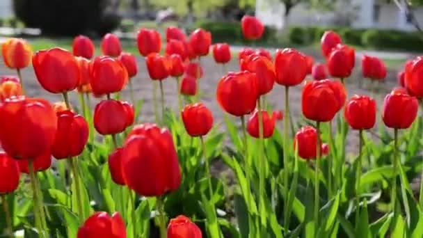 Tulip az eurázsiai