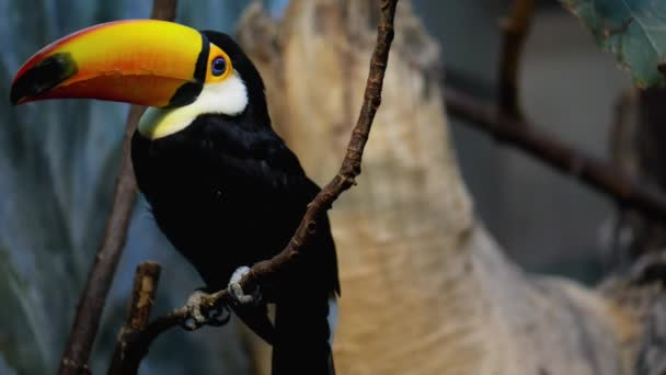 Toucan are members of the family Ramphastidae