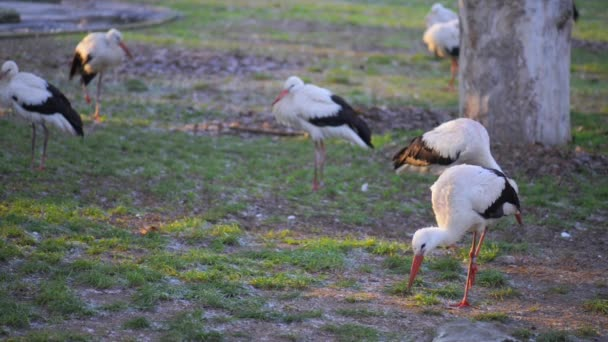 The white stork (Ciconia)