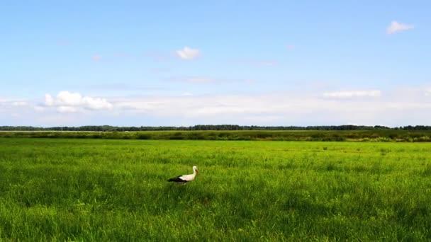 The white stork (Ciconia)