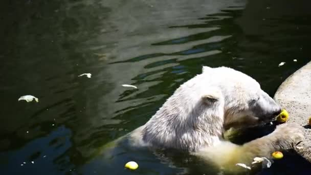 The polar bear eating an apple in the zoo.