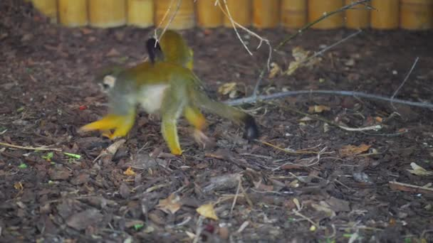 Squirrel monkey sitting, nice blurred background