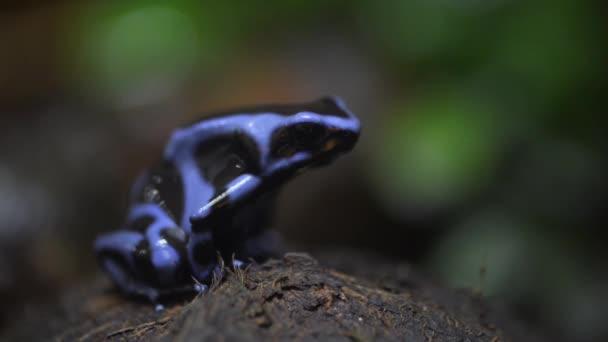Dendrobates auratus oder schwarz Gift Dart Frosch