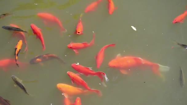Koi jsou skupinou ryb, které jsou okrasné