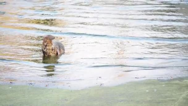 Kúpos fóka (Halichoerus grypus, kampós orrú tengeri malac)