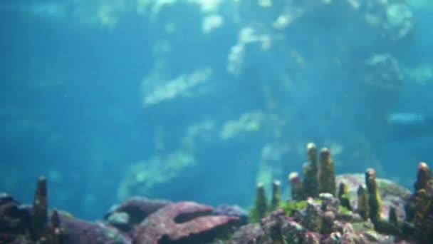 Grey seal (Halichoerus grypus, hooked-nosed sea pig)