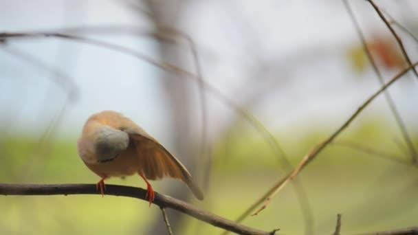Gouldinenfink (erythrura gouldiae))