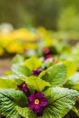 Primeln sind eine Gattung hauptsächlich krautiger Blütenpflanzen aus der Familie der Primulaceae. Dazu gehört die vertraute Wildblume an Ufern und Rändern, die Primel (Primula vulgaris).).