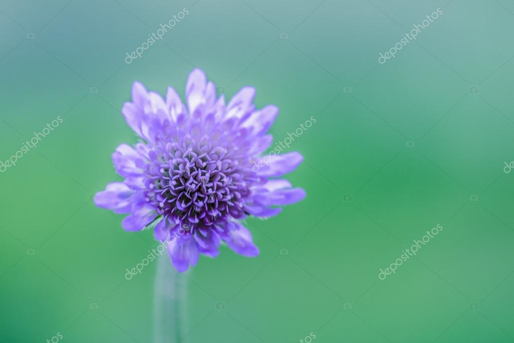 Knautia arvensis, commonly known as Field Scabious