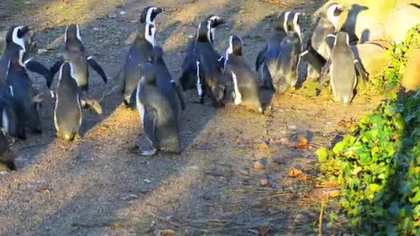 Pápaszemes pingvin (egyede megtalálható demersus)