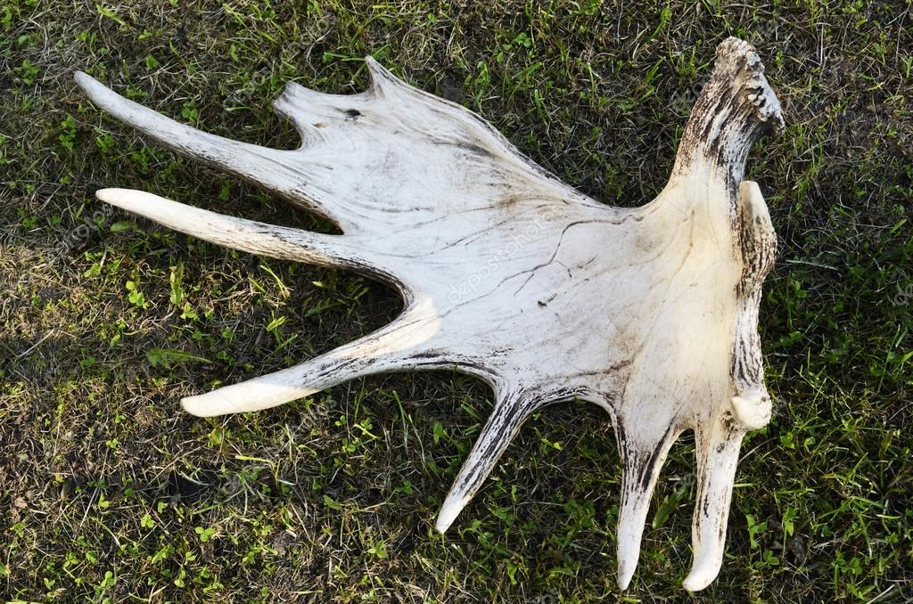 discarded moose antlers on the grass