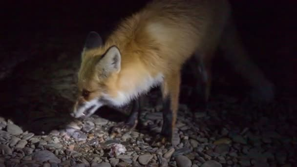 red fox came  to fishermen