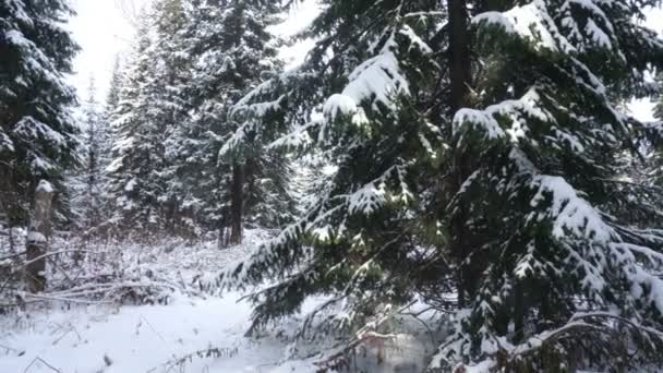 Coniferous trees covered with snow in the winter forest