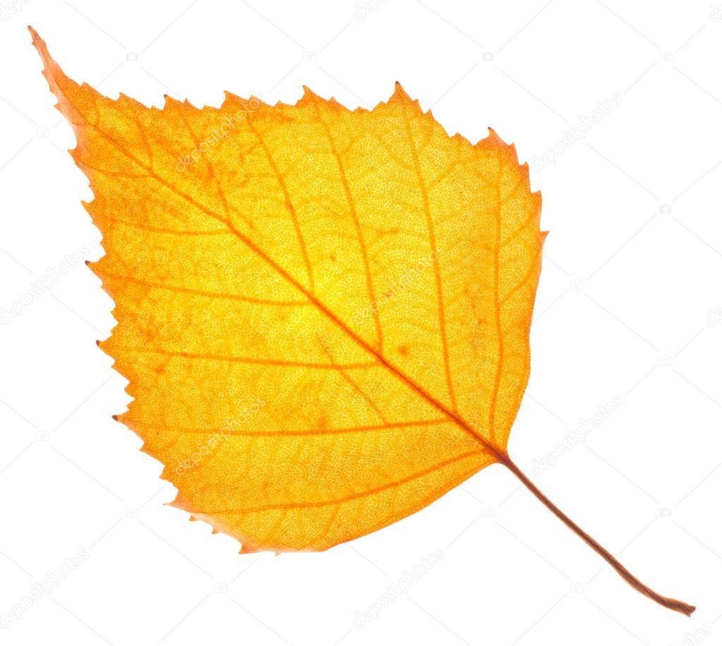 Лист желтый березы