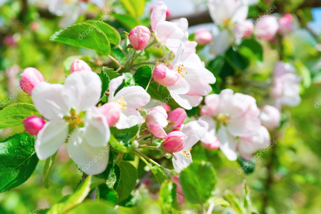 weiße Apple-Blumen — Stockfoto © dovapi #108370534