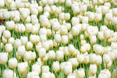 Fotografie mnoho bílé tulipány