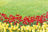 Fotografie rote und gelbe Tulpen im Garten