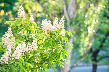 Blossom chestnut tree in flowers