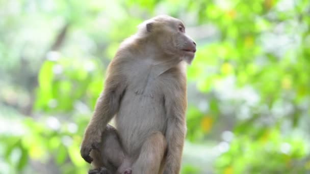 Portrait of male cute wild monkey sitting in a tree in green tropical forest with trees. Full HD video clip